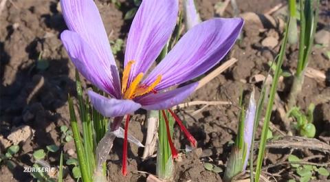 TeleZüri berichtet über tagora und den Anbau von Aargauer Safran